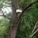 zwermlokkast op 5 meter hoogte in wilg