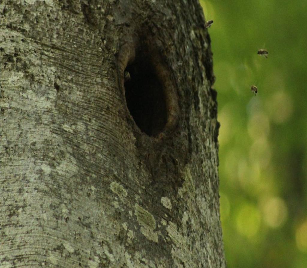 wilde bijenkolonie in beukenboom- Photo credit Patrick Laurenz Kohl