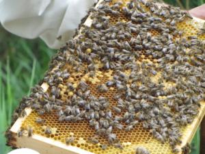 raamvastheid, een zinloos criterium om bijenvolken te evalueren