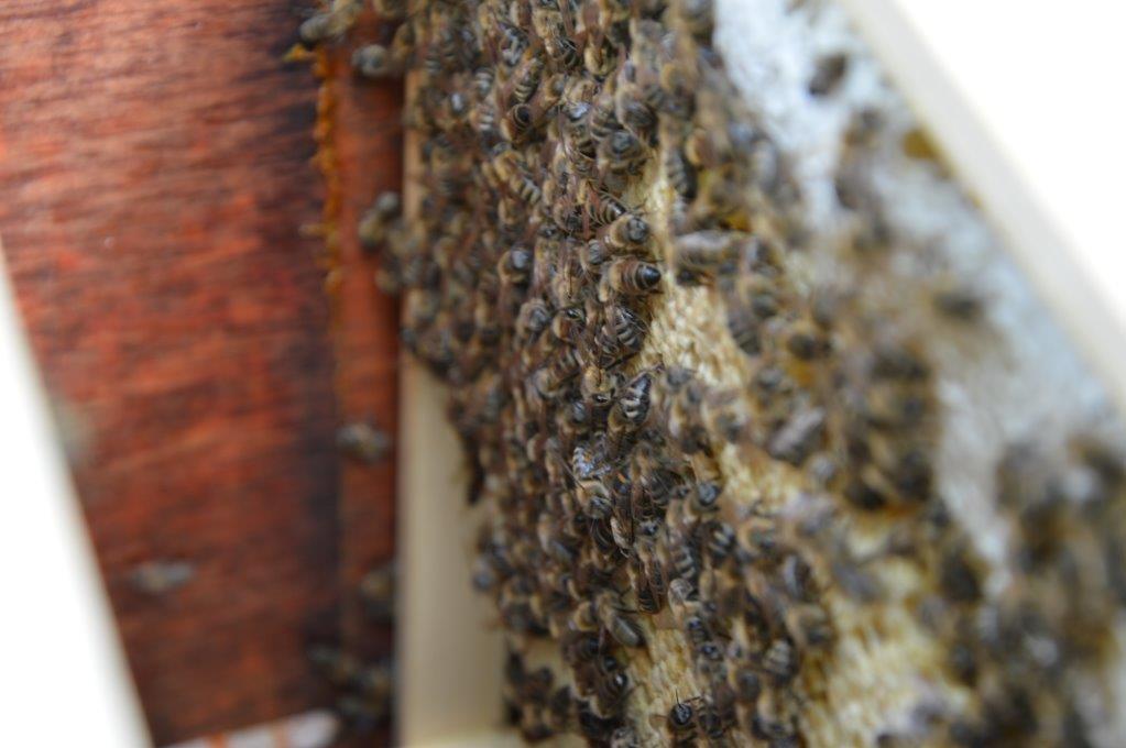 Eenmalig openen van de horizontale bijenkast om te kijken of de koningin aan de leg is
