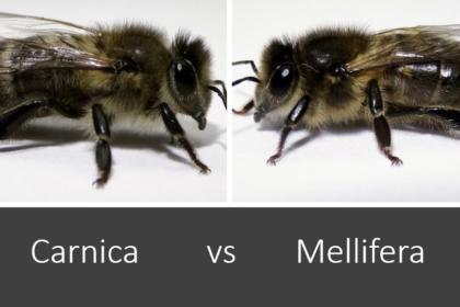 carnica vs mellifera Carnica vs Zwarte bij Wat is het beste bijenras?