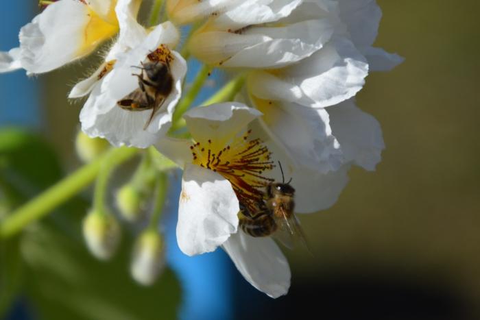 honingbij op kamerlinde sparmannia africana